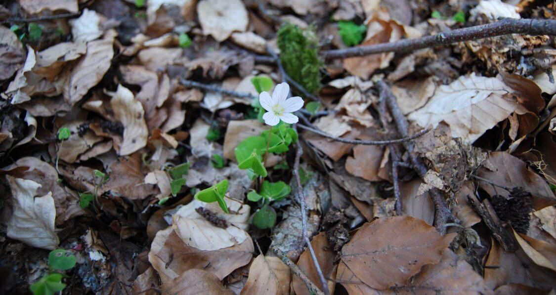 Blume auf Waldboden